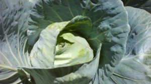 Helena's Cabbage